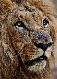 Resultado de imagen de leones viejos en la jaula