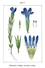 Gentianopsis ciliata - Wikipedia