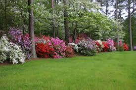 Image result for azaleas