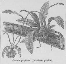 butterfly orchid old book illustrations all resolutions