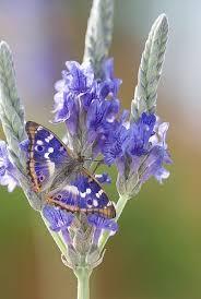 Lesser Purple Butterfly (Apatura ilia) | <b>Beautiful butterflies</b>, Purple ...