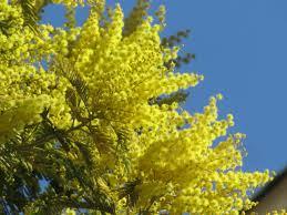 """Résultat de recherche d'images pour """"Les mimosas"""""""