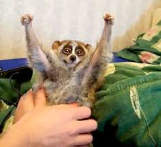 Image result for pet pygmy slow loris
