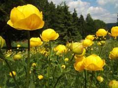 Trollius europaeus Globeflower, Common Globeflower, European ...