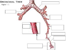 Image result for respiratory system label bronchioles