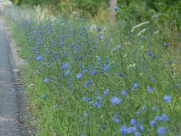 Image result for chicory perennial