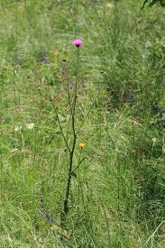 Carduus collinus Waldst. & Kit.