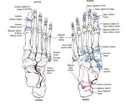 bone anatomy of foot   anatomy human body    bone anatomy of foot bone anatomy foot human anatomy diagram