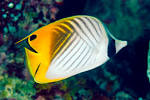 Images & Illustrations of butterflyfish