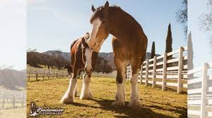 Budweiser Clydesdales in SWFL through Sunday - NBC-2.com ...