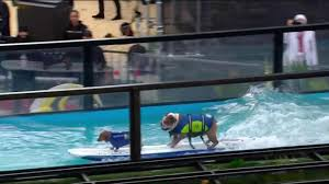 Al Roker freaking out over surfing dogs was the best thing at the ...