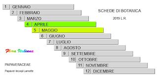 Papaver lecoqii [Papavero di Lecocq] - Flora Italiana