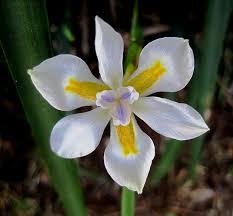 Resultado de imagem para flor iris