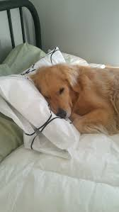 images about raining cats n dogs pets always on the pillow