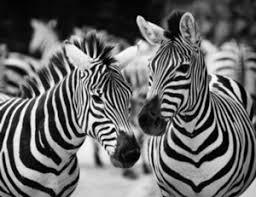 Resultado de imagen de como son las cebras blancas con rayas negras o negras con rallas blancas