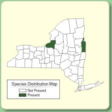 Iberis amara - Species Page - NYFA: New York Flora Atlas
