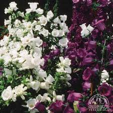 Plant Profile for Campanula medium single mixture - Canterbury ...