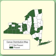 Crepis - Genus Page - NYFA: New York Flora Atlas - NYFA: New ...