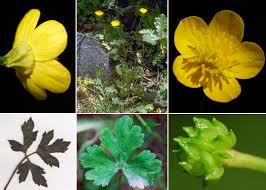 Ranunculus neapolitanus Ten. - Sistema informativo sulla flora del ...
