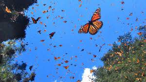 Bloque VI. Área protegida (bosque de la mariposa monarca) Images?q=tbn:ANd9GcQ1yNaS6s1FLdvC0-jsmVly_Cq3A-WT0FzU1RK_YKoLdPtl9hGB