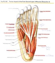 bones and muscles of foot   anatomy human bodybones and muscles of foot muscles of the foot human anatomy diagram