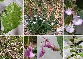 Teucrium chamaedrys L. subsp. chamaedrys - Flora urbana della ...