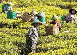 「印尼茶」的圖片搜尋結果