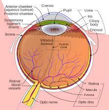 human eye diagram   eye anatomy   online biology dictionaryhuman eye diagram