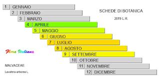 Lavatera arborea [Malvone maggiore] - Flora Italiana