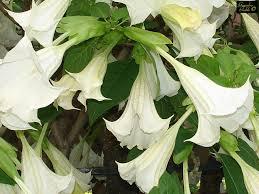 Risultati immagini per fiore:tromba degli angeli