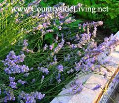 <b>Лаванда</b>: выращивание. <b>Лаванда</b> из семян, в горшке, дома, в ...