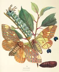 the resurrection of a lost th century butterfly manuscript plate xiv the spicebush swallowtail life cycle of the regal or royal walnut moth