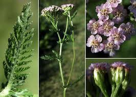 Achillea roseoalba Ehrend. - Sistema informativo sulla flora delle ...