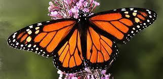 Resultado de imagen para mariposa monarca en querétaro