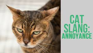Image result for images of annoyed cats