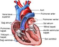 Kalp Hakkında Bilgiler – Kalbin Yapısı ve Özellikleri