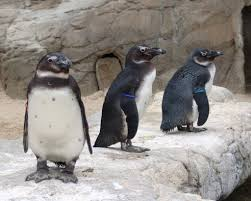 penguin facts popsugar love sex the african penguins live in colonies on dozens of islands the largest on dyer
