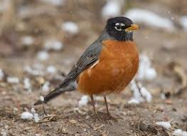 Image result for robin