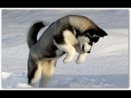 <b>Сибирская Хаски</b>, Дрессировка собаки - YouTube