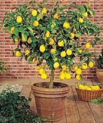 lemon tree x: lemon tree meyer citrus x meyeri best for our south texas climate