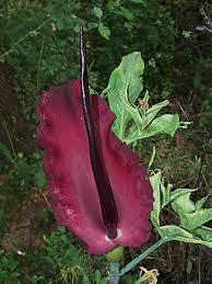 Dracunculus vulgaris Schott
