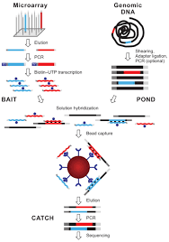 next generation sequencing enrich templates capture method overview of hybrid selection method illustrated are steps involved in the preparation of a complex pool of biotinylated rna capture probes bait