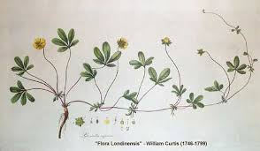 Potentilla reptans - Online Virtual Flora of Wisconsin