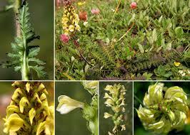 Pedicularis elongata A.Kern. subsp. elongata - Portale sulla flora del ...