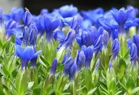 Gentiana verna (Spring Gentian)