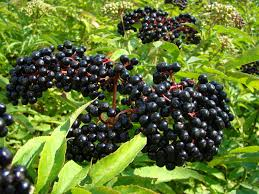 https://www.google.com/search?q=elderberry+plant&espv=2&source=lnms&tbm=isch&sa=X&ved=0ahUKEwiUt6Ps8vLJAhUNw2MKHYtADkAQ_AUICCgC&