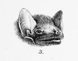 African sheath-tailed bat