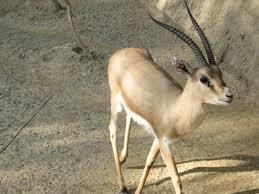 <b>Gazelle</b> - Wikipedia