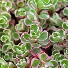 Sedum (Stonecrop) for Sale Online | Mountain Crest Gardens®