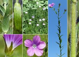 Linum viscosum L. - Sistema informativo sulla flora delle Alpi ...